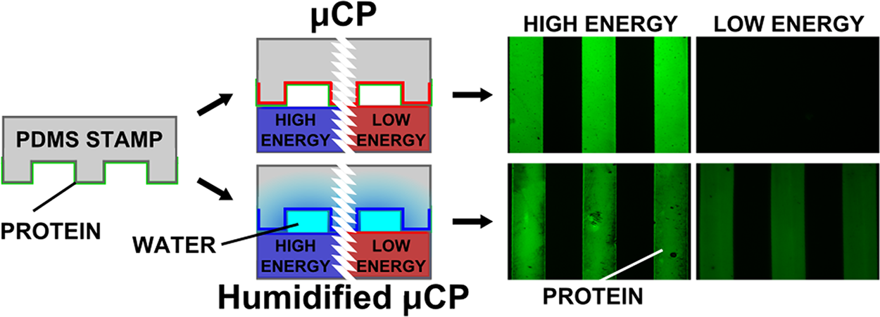 pubs.acs.org/langmuir Terms of Use Humidified Microcontact Printing of Proteins: Universal Patterning of Proteins on Both Low and High Energy Surfaces Se bastien G.
