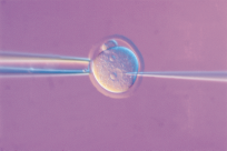 D e v e l o p i n g A Transgenic Animal Microinjection: Inserting a Transgene into a Reproductive Cell To develop a transgenic animal, scientists must insert a transgene into a reproductive cell
