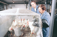 USDA Agricultural Research Service These scientists are developing a line of transgenic chickens that will be free of disease by giving them disease-resistant or disease-fighting genes.