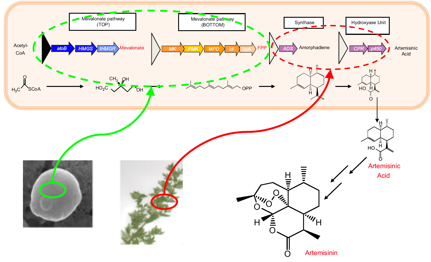 Application: metabolic engineering production of