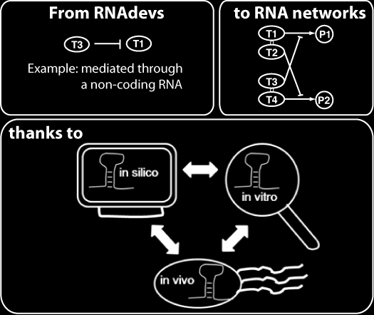 Synthetic RNA-based biocomputing devices Synthetic RNA signaling