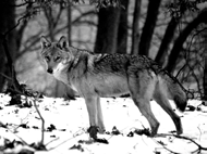 Wolf 11 The Wolf (Canis lupus) Range: at one time, the wolf was present in the entire Northern hemisphere; it used to be the most widespread mainland mammal species.