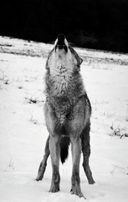16 Wolf the beginning of the XXth century, they have disappeared from France, Switzerland and from 48 states of the USA.