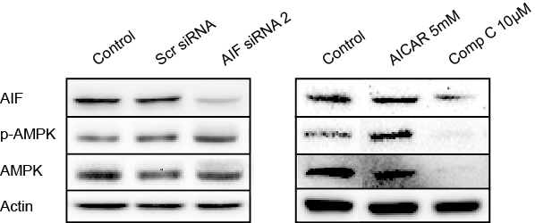 Results 60 Furthermore, Western blot analyses were performed to investigate effects of AIF depletion on AMPK protein expression levels.