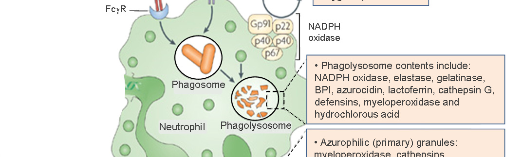 Introduction Figure 1.2: Neutrophil phagocytosis of bacteria.