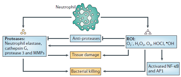 Introduction Neutrophils also have significant roles in wound healing (Fig. 1.5). The main role of neutrophils to wound healing is microbial sterilization.
