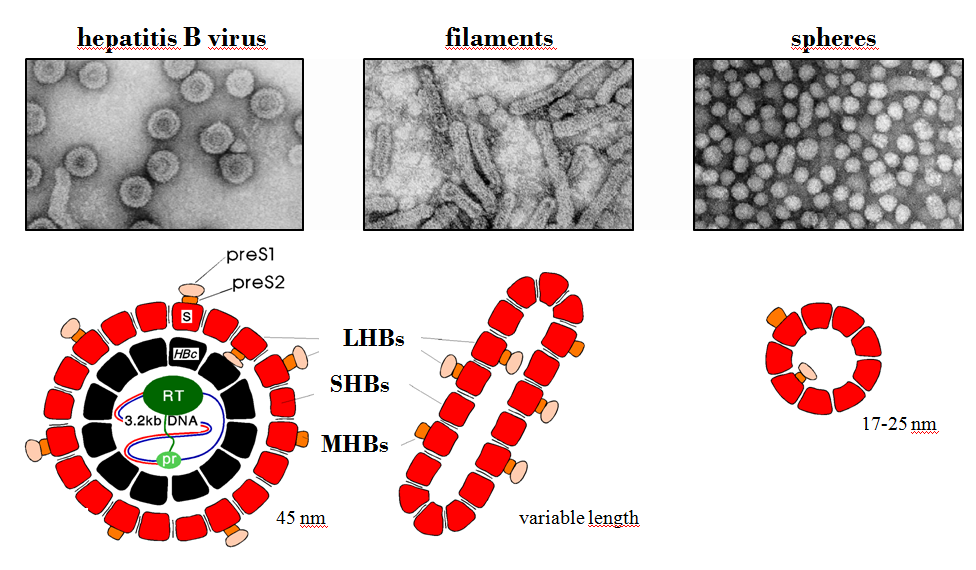 Introduction Figure 1: Structure of HBV and subviral particles. A) Negative contrasted electron microscopical picture of virions (left), filaments (middle), and spheres (right).