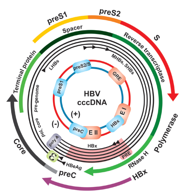 Introduction The ORFs encode for 1) HBV core protein (HBc) and its soluble form (HBe), 2) the viral polymerase including priming and spacer domain, reverse transcriptase- and RNase H-domain (80 % of