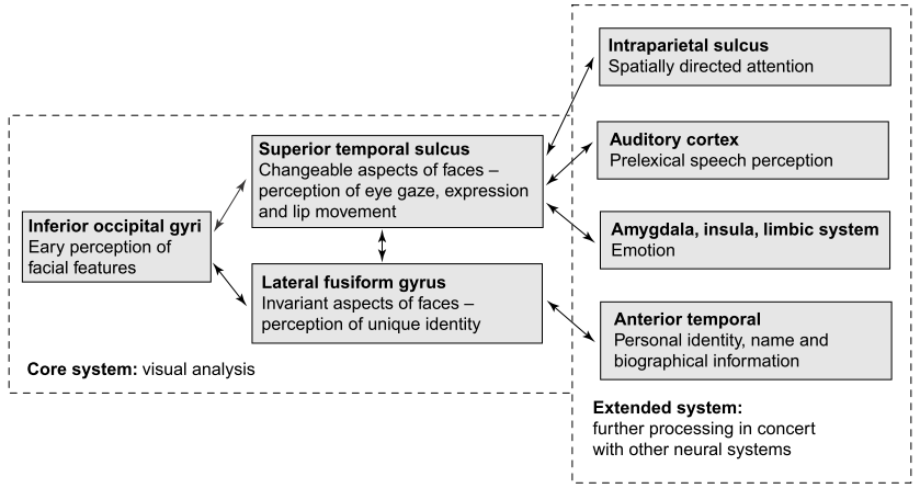 Inspired by this model and integrating empirical evidence from human neuroimaging and evoked-potentials on face procesing, Haxby and colleagues (Haxby, Hoffman, & Gobbini, 2000) devised a neural