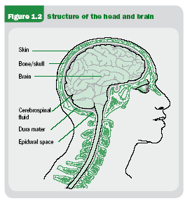 The spinal cord passes through a hole in the underside of the brain. Under the skull, adhering to the bones is a tough tissue called the dura that surrounds the brain.