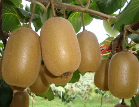 The domestication history of kiwifruit in China 1959-2013 Introduction, domestication, commercial cultivation and national industry in more than 50 years The National