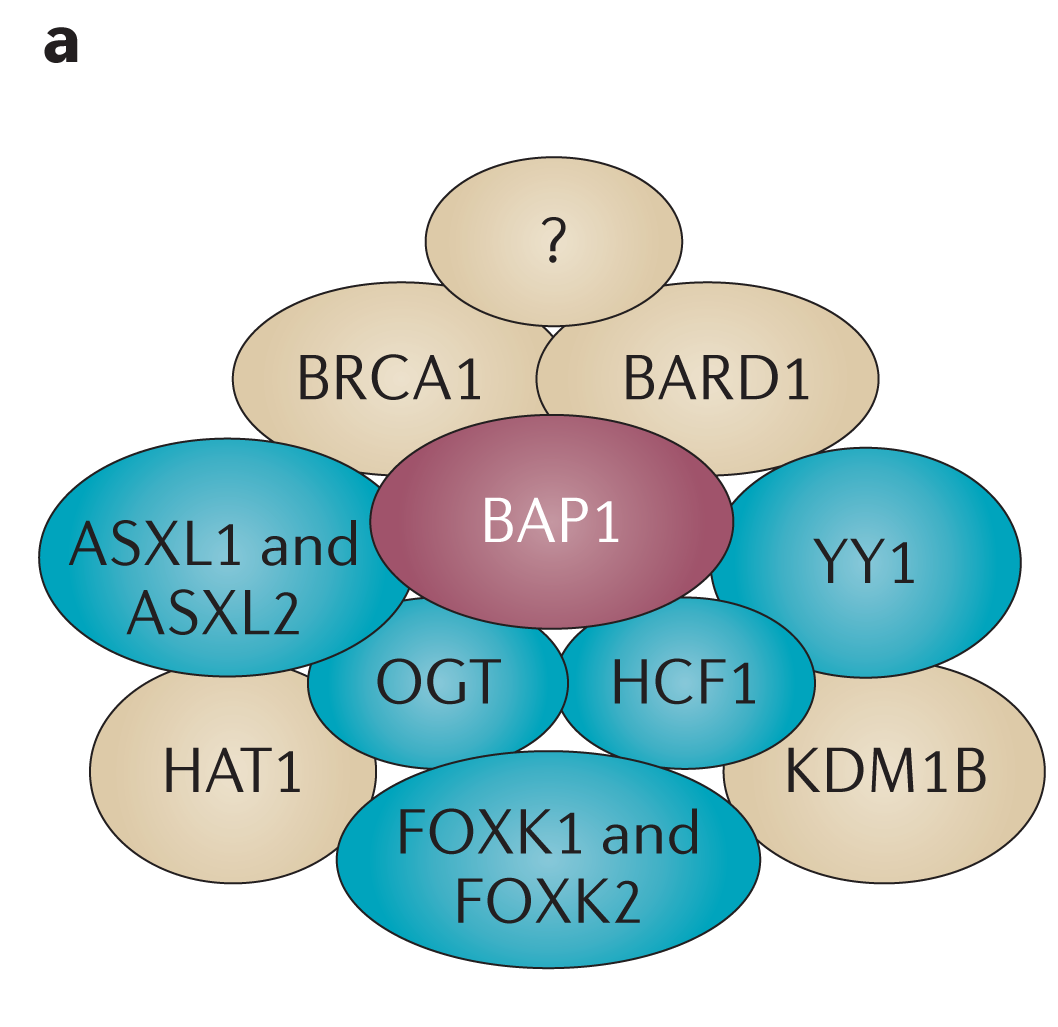 Carbone et al. Page 12 Figure 1a. BAP1 protein partners Putative BAP1 protein partners, identified by co-immunoprecipitation and/or affinitycapture mass spectrometry.