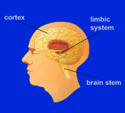 III. DRUGS AND THE BRAIN Introducing the Human Brain The human brain is the most complex organ in the body.