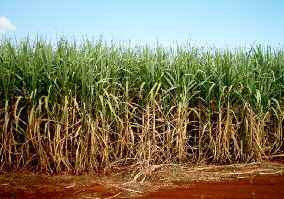 Sugarcane plantation for biofuel production Biofuels BIOMASS, BIOENERGy, BIOFUELS.