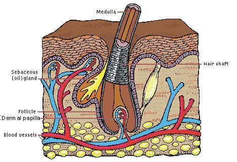 Morphology of hair: hair follicle organ located in the scalp hair grows out of here