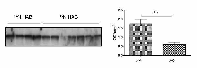 15 N isotope effect A B Figure 7.4 Decreased Nefm expression in 15 N HAB mice A. Decreased expression of the Nefm peptide SNHEEEVADLLAQASHITVER in bacteria-fed 15 N HAB compared to 14 N HAB mice. B. Significantly decreased Nefm expression in bacteria-fed 15 N HAB (n=7) compared to 14 N HAB (n=4) mice (**p=0.