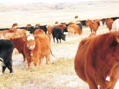 Swath grazing a cereal crop has always played a role in keeping the cattle grazing during the winter months. His swath grazing averages 150 cow days/acre, but can range from 75-225.