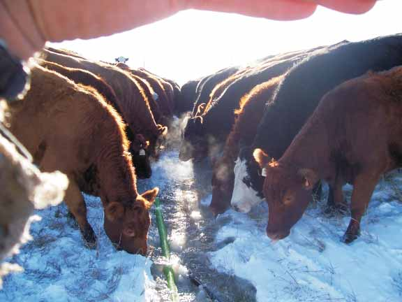 structure is limiting animals feed intakes. The keys to grazing through snow are: high forage volume, adequate forage quality, softer snow type and high stock density to break snow crusts.