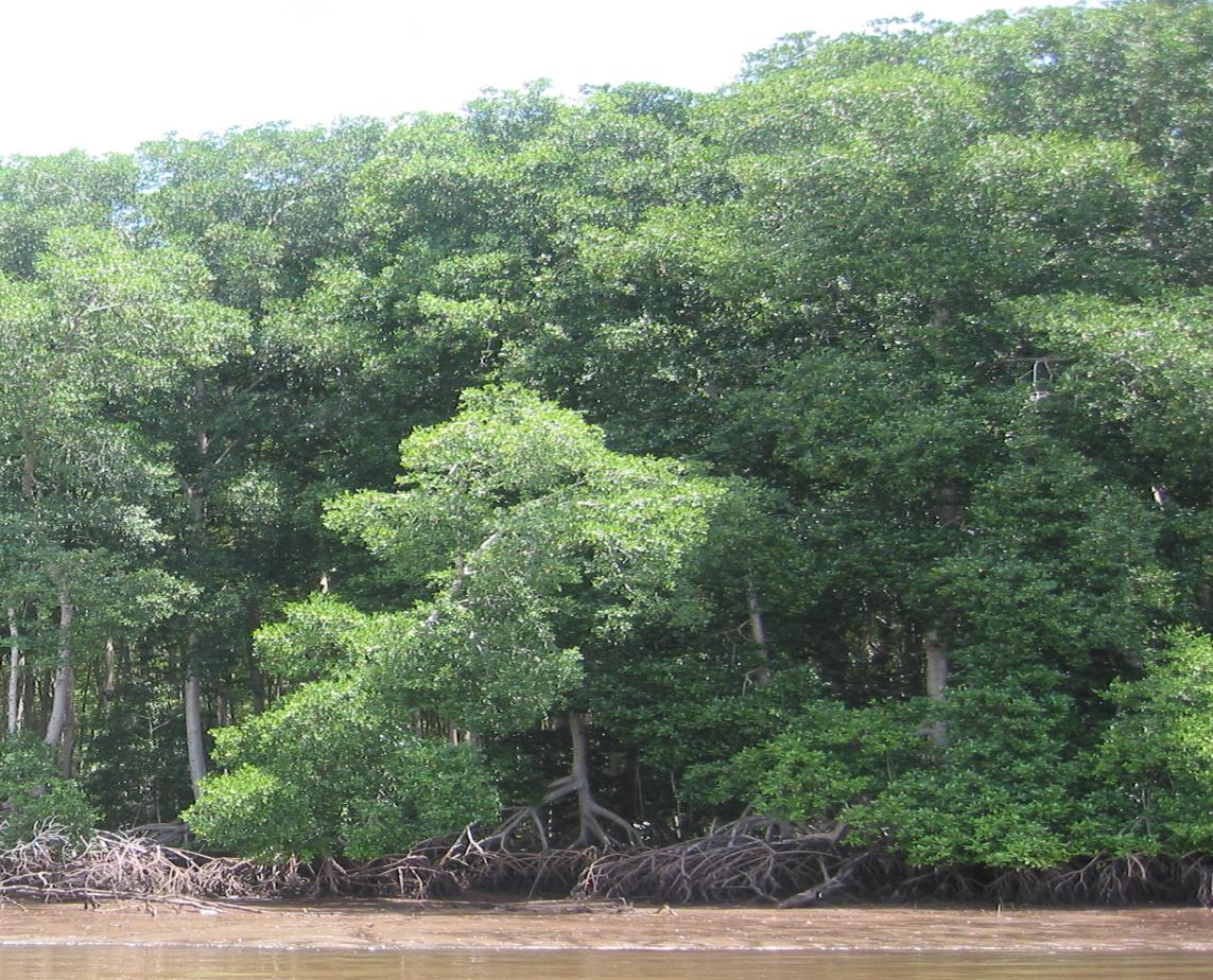 Conserve & Restore Mangroves for