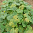 Getting the Best of Both Worlds Infection rate in % 80 60 40 20 0 Pure nature 80 Untreated Biological fungicide 42 Chemical fungicide 27 Cucumber Control of Pseudoperonospora cubensis, Utrera 2008