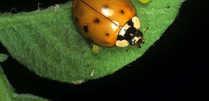 Insect control Introduced natural enemies The harlequin ladybird Harmonia axyridis Introduced to North America in 1988 Now the most widespread ladybird species