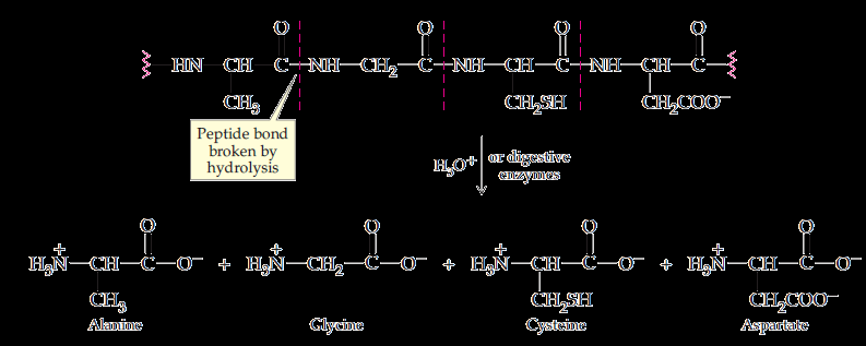 1. Protein Hydrolysis The reverse of protein synthesis Digestion of
