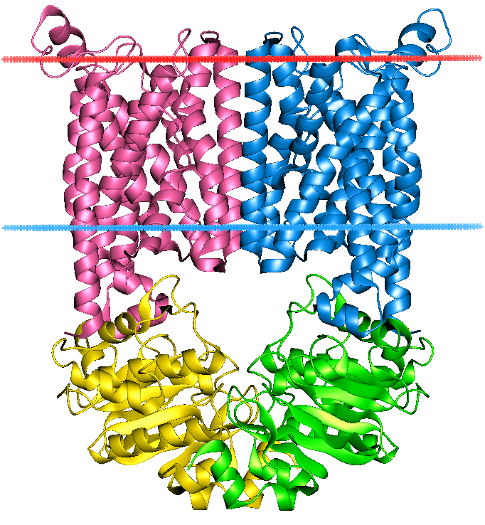 Phase III elimination / membrane transport Phase III transporters ATP-binding cassette transporters (ABC transporters) protein superfamily (one of the largest, and most