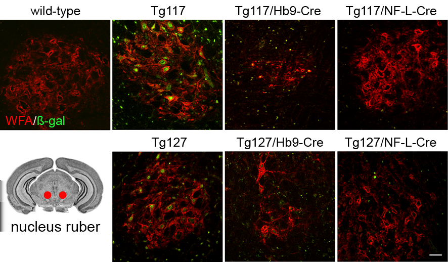 5.1 Transgenic mice with conditional expression of PrP Q167R 5 RESULTS Immunofluorescence analysis revealed co-localization of β-gal and the neuronal marker NeuN in different brain areas responsible
