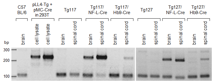5.1 Transgenic mice with conditional expression of PrP Q167R 5 RESULTS Expression of dominant-negative PrP Q167R after inter-crossing of Tg floxed LacZ- PrP Q167R mice to Cre-strains.