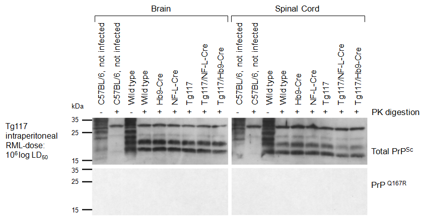 5.1 Transgenic mice with conditional expression of PrP Q167R 5 RESULTS Figure 34: Western blot analysis of PK-resistant PrP Sc in terminally scrapie affected mice after high dose intraperitoneal (i.p.) infection with RML prions.