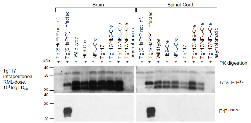 5.1 Transgenic mice with conditional expression of PrP Q167R 5 RESULTS Figure 35: Western blot analysis of PK-resistant PrP Sc in terminally scrapie affected mice after low dose i.p. infection with RML prions.