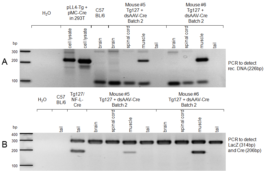 5.2 Transfer of dsaav2-cre into Tg floxed LacZ-PrP Q167R mice 5 RESULTS Consequently, a second dsaav2-cre batch (batch 2) providing a higher virus titer was used and treated mice were sacrificed at