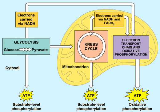 Section 2: Cellular Respiration: How do your cells get energy?