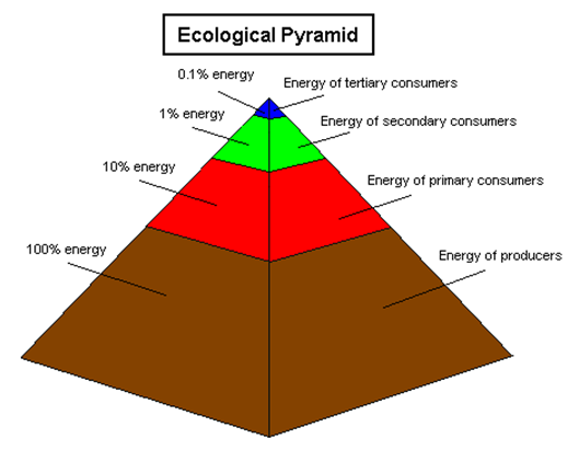 Photosynthesis & Ecology The energy captured through photosynthesis forms the basis of the ecological pyramid.