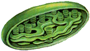 Where Photosynthesis Occurs Chloroplast Structure Grana Thylakoid- structural unit of photosynthesis.