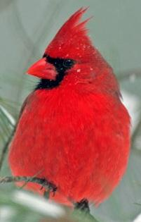 The feathers of male cardinals are loaded with carotenoid pigments.