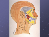 Four illustrations of the pathways of pain (shown by arrows) referred from facial muscles to other areas of the head and neck. Coordinated therapy can eliminate pain at the source.
