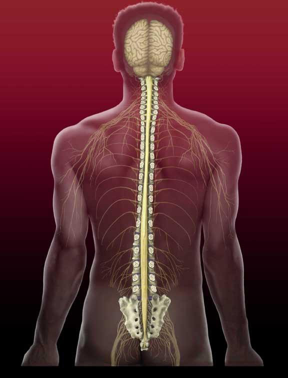 Structure of the Back: Nervous System With the brain, the spinal cord makes up the central