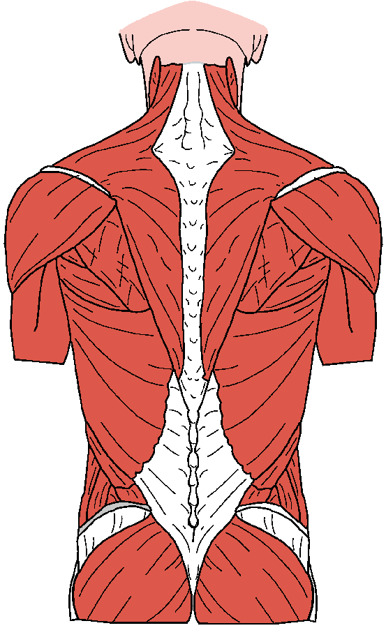Structure of the Back: Muscles There are approximately 400 muscles that help stabilize the