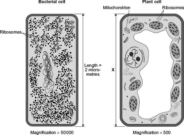 Q7. The diagram shows two cells, a bacterial cell and a plant cell. (a) (i) Both the bacterial cell and the plant cell contain ribosomes. What is the function of a ribosome?