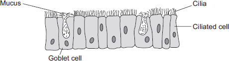 In multicellular organisms, cells are specialised to carry out particular functions. There are two types of cell lining the windpipe. Ciliated cells have cilia on their surface.