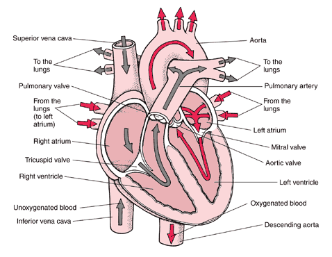 On the anterior surface of the heart, the interventricular septum is marked by a shallow diagonal groove known as the anterior interventricular sulcus (or groove), which is occupied the anterior