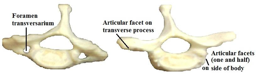 This process represents the body of 1 st vertebra, fused with the body of 2 nd vertebra. It acts as a pivot for rotation of the skull and the first vertebra.