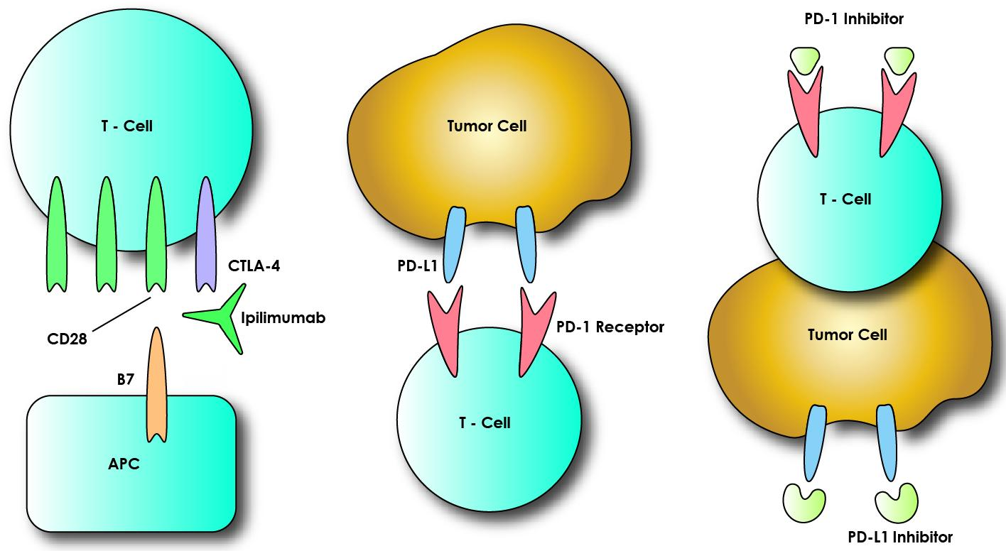 these cell surface proteins enhances the immune response to the tumor CTLA-4