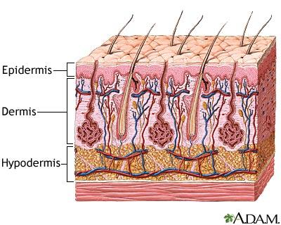 Integumentary System Identify and Explain the parts of the skin Handout on Skin
