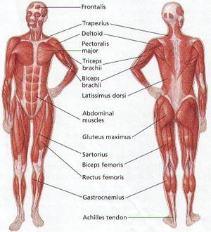 Muscular System Identification of skeletal muscles Functions of three types of muscles Muscle contraction