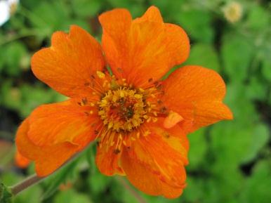 Genus: Geum (Avens) Genus of about 50 perennials, mostly with dense clusters of hairy leaves Geum chiloense Species originating from Island of Chiloe, Chile which enjoys a cold, wet climate.