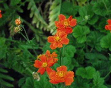 Genus: Geum (Avens) Genus of about 50 perennials, mostly with dense clusters of hairy leaves Geum coccineum Species originates from the Balkan peninsula and is very similar to G.