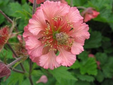 Genus: Geum (Avens) Genus of about 50 perennials, mostly with dense clusters of hairy leaves water Recommended Geum hybrids Geum Totally Tangerine high-performing tall hybrid of G.