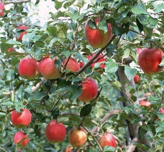 Phlorizin - a nonselective sodium glucose transport inhibitor - discovered on the root bark of an apple